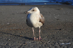 Seagull on a pier. Low angle shot of seagull standing on a pier Royalty Free Stock Photos