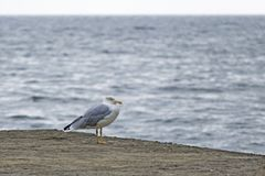 Seagull on Pier near the sea Royalty Free Stock Images