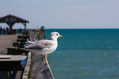 Seagull On The Pier. Seagull perched on the wooden pier railing Stock Photos