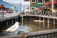 A Seagull at the pier in Queenstowns harbor. A holiday destination popular with tourists and locals in Otago Region, New Zealand Royalty Free Stock Images