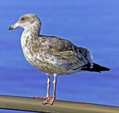 Seagull on Pier Railing Stock Photos