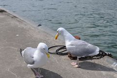 Seagull, Pier Royalty Free Stock Photography