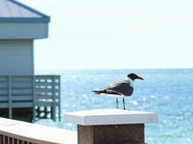 Seagull on Pier. A seagull sits on a pier watching for fish below stock photos
