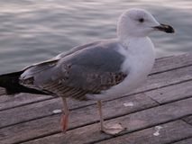 Seagull in the pier royalty free stock photography