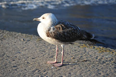 Seagull on a pier. Seagull standing on a pier looking away from the ocean Stock Photo