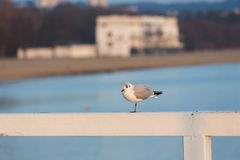 Seagull on the pier Stock Photography
