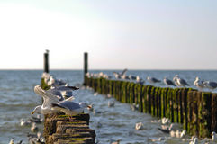 Seagull pier in Zeeland royalty free stock photos