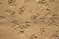 Seagull and pigeons footprints Royalty Free Stock Images