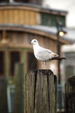Seagull on a pile Stock Image