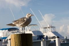 Seagull On Piling Stock Images