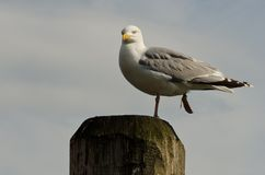 Seagull on a pillar Stock Image