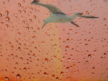 Seagull on a pink background with rain drops. Abstract painting Seagull and drops. Rainbow and rain Royalty Free Stock Photography