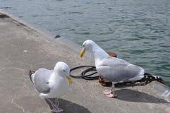 Seagull pir Royaltyfri Fotografi