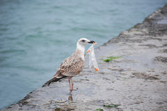 Seagull with plastic bag Stock Photo