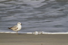 Seagull and Plastic Bottle Beach Trash Stock Photography