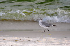 Seagull play in the waves. Seagulls playing by the waves off Panama City Beach stock photo