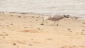 Seagull Eating a Crab