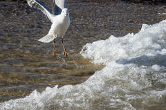 Seagull playing in the surf Stock Image