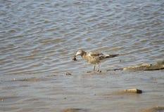 Seagull połowu kraby Zdjęcia Stock