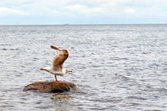 Seagull początek Obraz Royalty Free