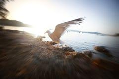 Seagull podesłanie uskrzydla przy zmierzchem Fotografia Stock
