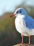 Seagull on a pola Royalty Free Stock Photo