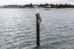 Seagull On A Pole Royalty Free Stock Image