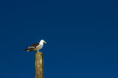 Seagull. Royalty Free Stock Photography