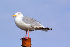 Seagull on a pole close up. Stock Photo