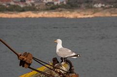 Seagull on a pole Stock Image
