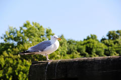 Seagull on a poll. In Ogunquit Maine Royalty Free Stock Photos