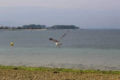 Seagull polowanie w locie obrazy stock