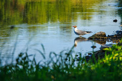 Seagull in the pond Royalty Free Stock Images