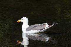 Seagull on a pond Royalty Free Stock Photos