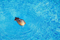 Seagull in the Pool Royalty Free Stock Photography