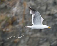 Seagull pooping in flight. stock image