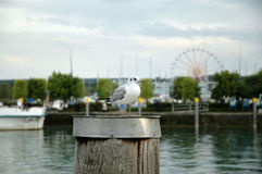 Seagull in the port of constance, germany. Seagull sitting on a wooden post Royalty Free Stock Photography