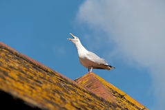Seagull in Port Isaac Royalty Free Stock Photos