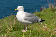 Seagull in Port Isaac Stock Photography