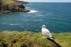 Seagull in Port Isaac Stock Images