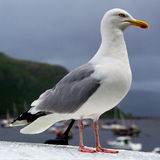 Seagull at the port Royalty Free Stock Photo
