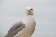 Seagull portrait Stock Photo