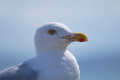 Seagull portrait 2 Royalty Free Stock Photos