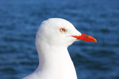 Seagull head against ocean Stock Images