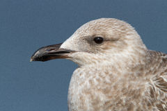 Seagull portrait Stock Photo
