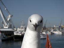 Seagull portrait. Portrait of white seagull by the water with boats in the background Royalty Free Stock Photography
