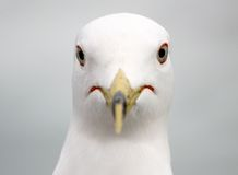 Seagull portrait. Close-up of a seagull head Royalty Free Stock Photos