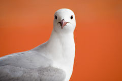 Seagull portrait. Close up portrait of seagull, orange background Stock Image