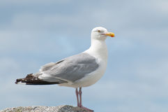 Seagull Portrait. A close up portrait of a Seagull perched on a rock Royalty Free Stock Photography
