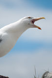 Seagull Portrait. A close up portrait of a Seagull perched on a rock Stock Images
